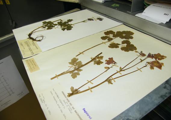 Herbáriumi lap